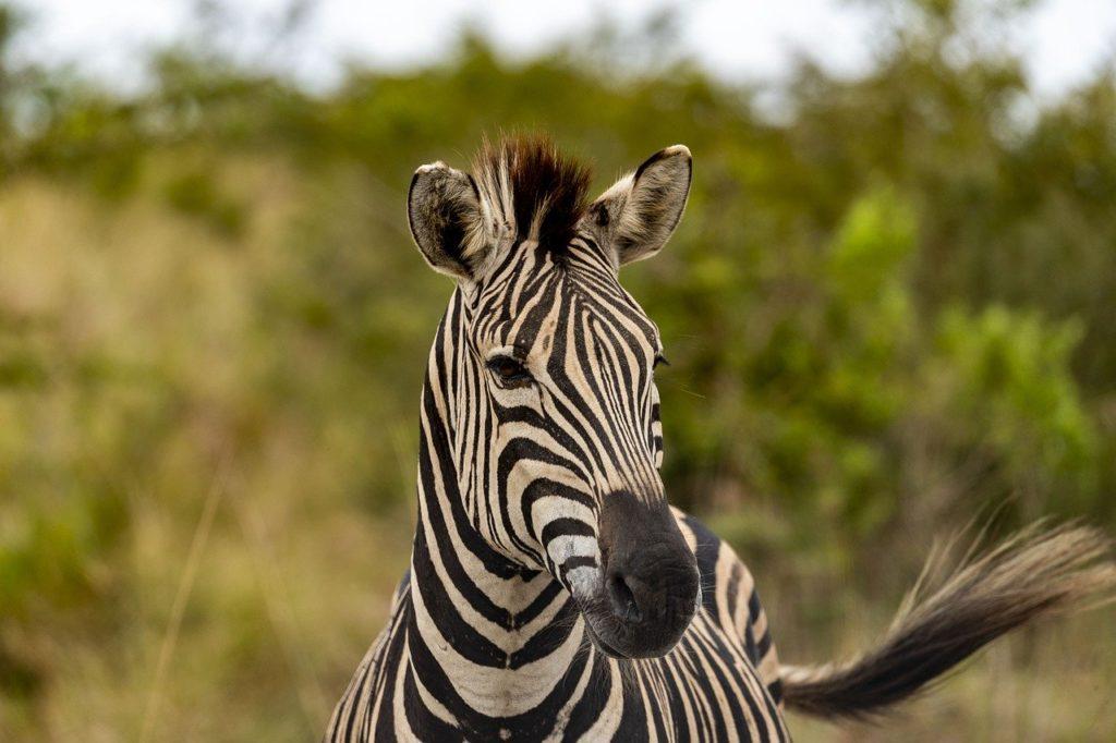 safari, africa, zebra