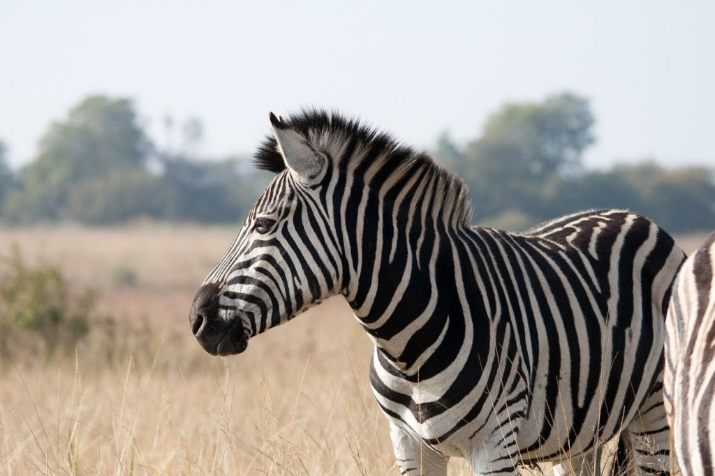 zebra, animal, mammal