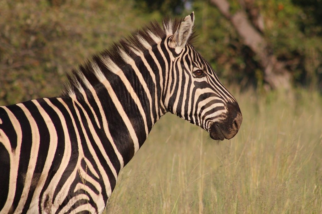 zebra, nature, animal