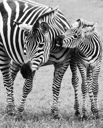 Zebra mor med lille